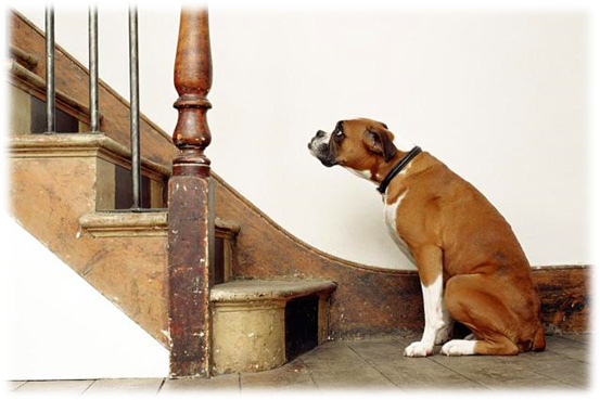 Dog Arthritis Symptoms - Difficulty moving up and down stairs