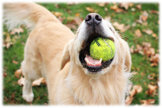 Dog Arthritis Symptoms - Less playful