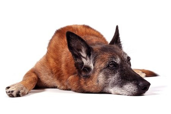 Dog Arthritis Symptom - Moving slowly and stiffly