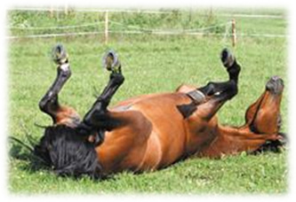 Horse Arthritis - Inability to roll/rollover